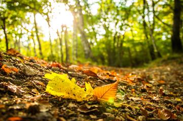 Foglia di autunno appena caduta, nel bosco.