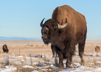 American Bison on the Snow Covered High Plains of Colorado
