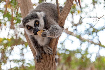 Lemur. Nice photo of a ring-tailed lemur of Madagascar eating piece of apple fruit.