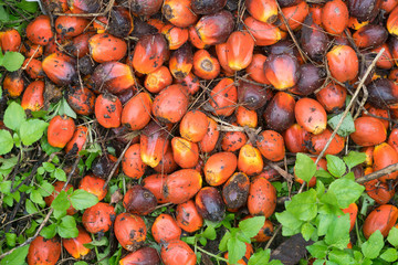 Top view of Palm Oil Fruits on the palm tree at Thailand