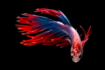 Siamese fighting fish, Betta splendens, Thailand blur