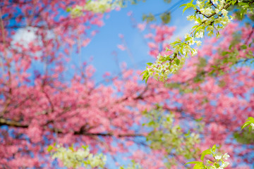 Wild Himalayan Cherry ( Prunus cerasoides ) ( Sakura in Thailand )