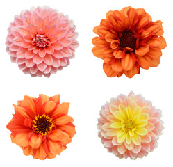 four young pink and red chrysanthemum dahlia isolated on white