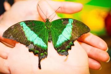 Beautiful green butterfly in hands, closeup