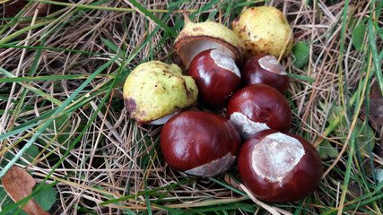 Fresh horse chestnuts with shells on a grass at autumn.