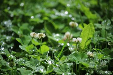 White clovers in a summer meadow at morning dew