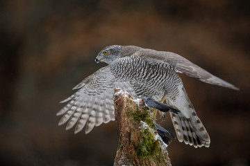Female goshawk struggling
