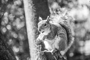 Gray squirrel eating chip. London park.