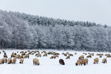 Das schwarze Schaf in der Herde, Schafsherde in Winterlandschaft