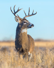 White-tailed Buck in Field of Grass - Wild Deer on the High Plains of Colorado