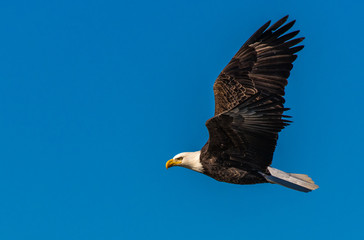 A Majestic Bald Eagle in Flight