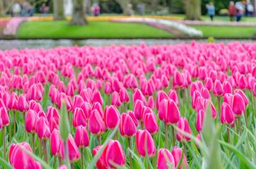 Pink tulips in bloom in Keukenhof spring garden from Netherlands