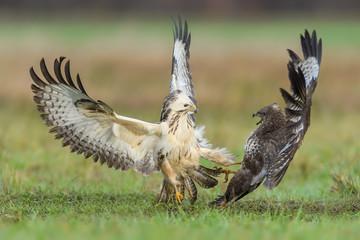 Fight in the meadow/Common Buzzard