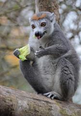 A Crowned Lemur