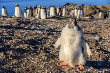 Funny furry gentoo penguin chick standing in front with his flock in the background, Burrientos Island, Antarctic