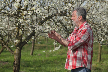 Agronomist or farmer examine blooming plum trees in orchard