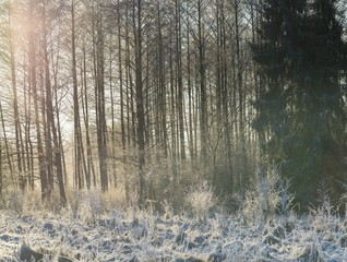 Winter morning with frosted plants