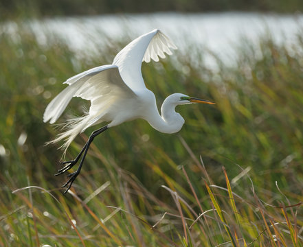 snowy egret takes flight at sunset