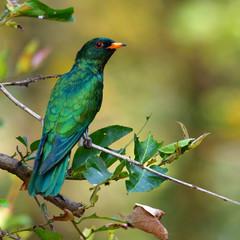 Asian Emerald Cuckoo bird