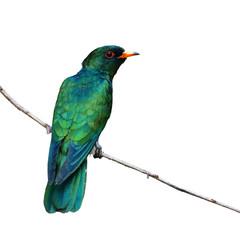 Azjatycki Szmaragdowy Kukułka ptak - 189698178
