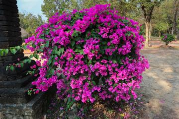 Lesser bougainvillea (Bougainvillea glabra), bougainvillea flowers Large lush decorative bush with bright crimson flowers and green leaves