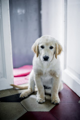 portrait of golden retriever puppy dog