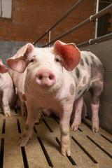 Mastschwein Schweinemast Spaltenboden Schwein Schweinestall Landwirtschaft - AGRARMOTIVE Fotos aus der Landwirtschaft