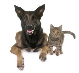 Fototapete - kitten and malinois