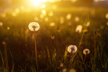 Wall Murals Spring dandelions in the golden rays of the setting sun as nature background