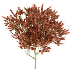 red oak tree isolated on white background