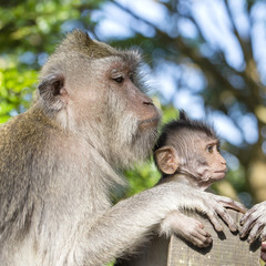 Portrait of baby monkey and mother at sacred monkey forest in Ubud, island Bali, Indonesia