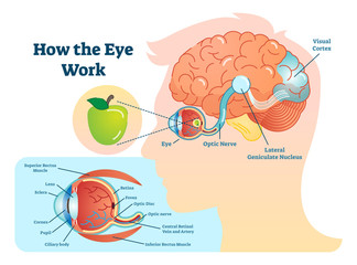 How eye work medical illustration, eye - brain diagram
