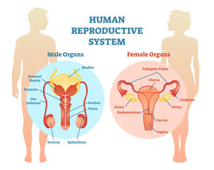 Human Reproductive System Vector Illustration Diagram, Male and Female.