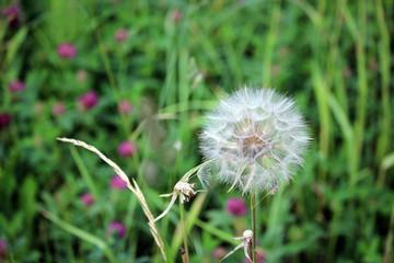 Dandelion blossom, turned into seeds.