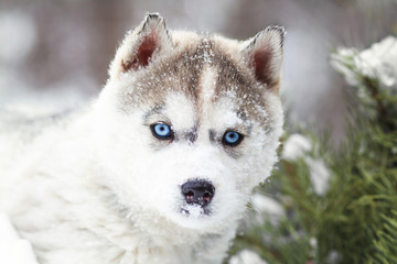 winter portrait of a cute blue-eyed husky puppy against a background of snowy nature in the forest