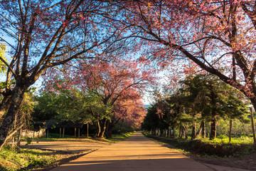 Thailand cherry blossom
