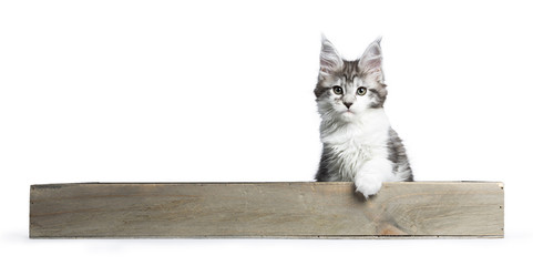 Tabby with white Maine Coon kitten / cat sitting in wooden tray isolated on white