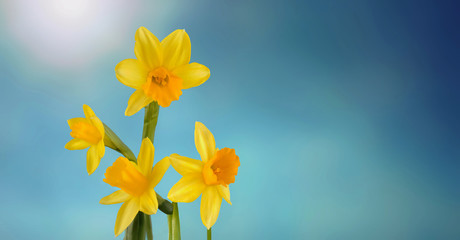 beautiful daffodils in the sunlight on blue sky background