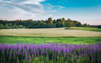 Colorful landscape with a blooming field at sunset. Latvia landscape