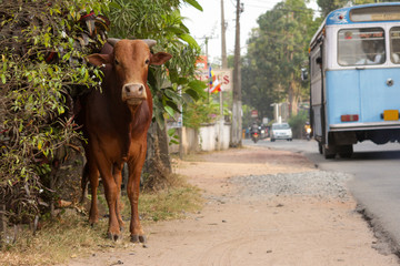 Sri Lanka. A typical city street. A cow by the side of the road. The bus passing by.