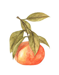 Single mandarin with leaves isolated on white background. Watercolor illustration.