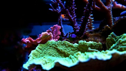 Montipora sps coral in reef tank