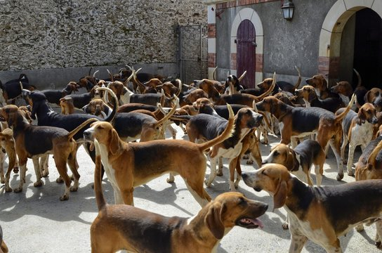 """Cheverny, Loire Valley, France. 26 June 2017 at 12:00. Hunting dogs of the """"French tricolor"""" breed in their home."""