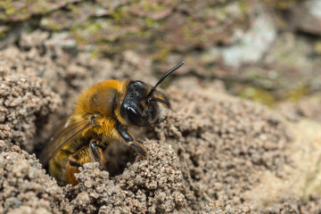 A female Andrena mining-bee at her nest burrow