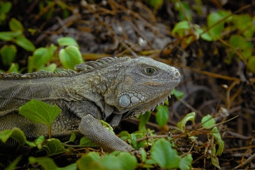 Tropical wild Iguana