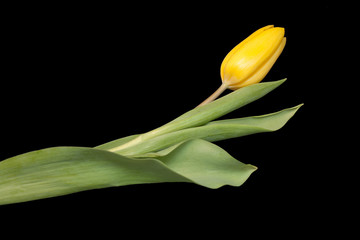 yellow tulip isolated on black