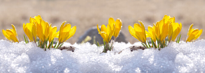 Poster Krokussen Crocuses yellow grow in the garden under the snow on a spring sunny day. Panorama with beautiful primroses on a brilliant sparkling background.