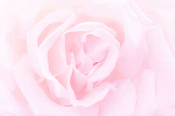 Pink rose close-up background