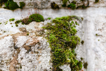 Green moss on stone. Ancient wall detail with moss and lichen