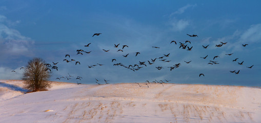 Flying goose bean over a snow covered field in Poland in Europe